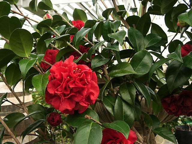 camellia_japonica_2