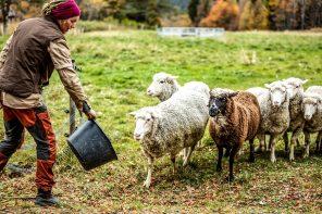Fjällräven pilotproject voor Zweedse wol