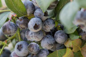 Berry Bux: nieuwe sierplant vol eetbare blauwe bessen