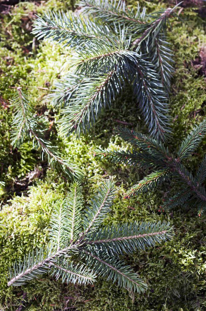 Fijnspar (Picea)