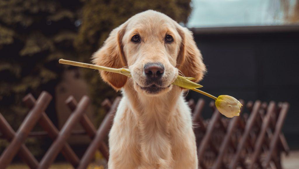 hond-met-tulp