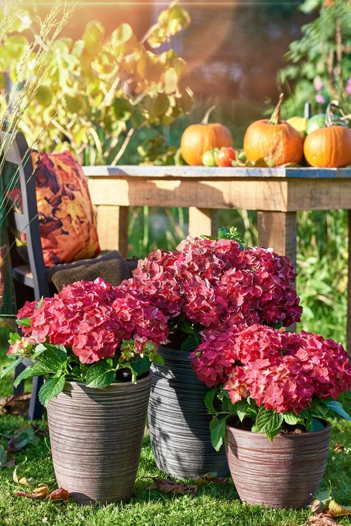 Magical_hortensia_Ruby Tuesday 2_Magical Four Seasons WEB