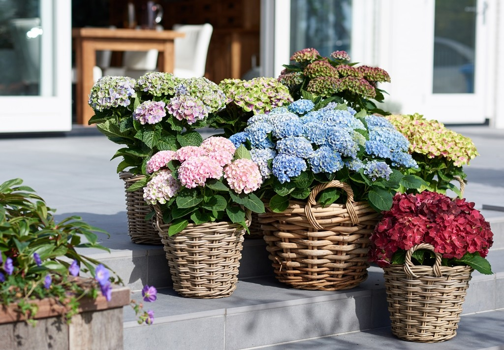 Magical_hortensia_mix_Magical Four Seasons WEB