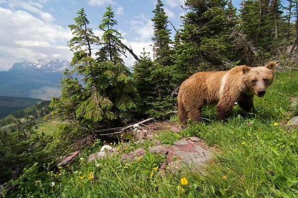 grizzly-bear-flathead_11741_600x450